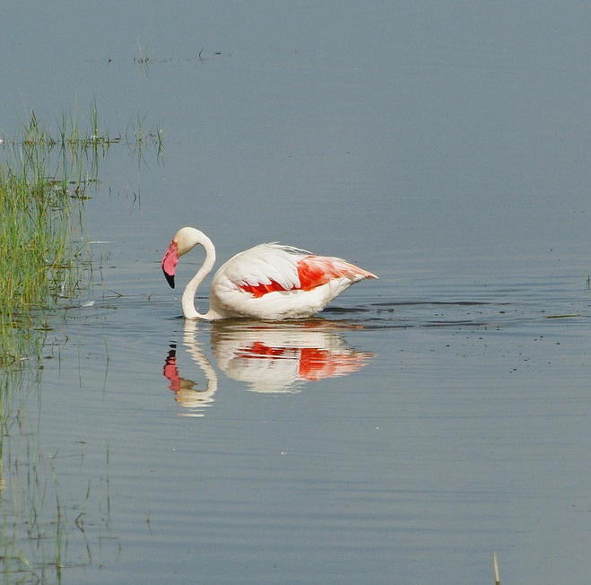 Национальный парк Озеро Накуру в Кении. Розовый фламинго. Фото