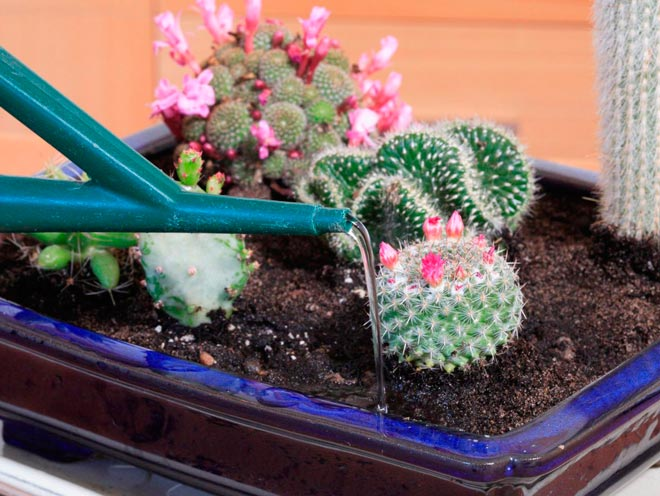 полив кактуса