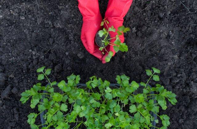 Корневой сельдерей выращивание и уход