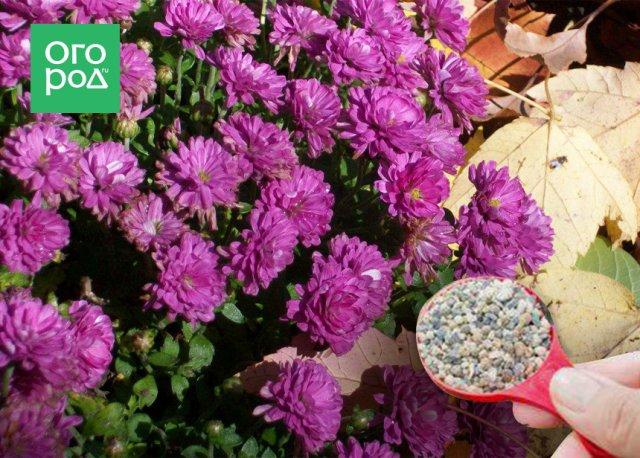 Подкормка хризантем