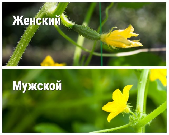 мужской и женский цветы огурца