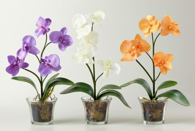 Благородная ароматная орхидея цветет прекрасными белыми, желтыми, розовыми и голубыми цветами.