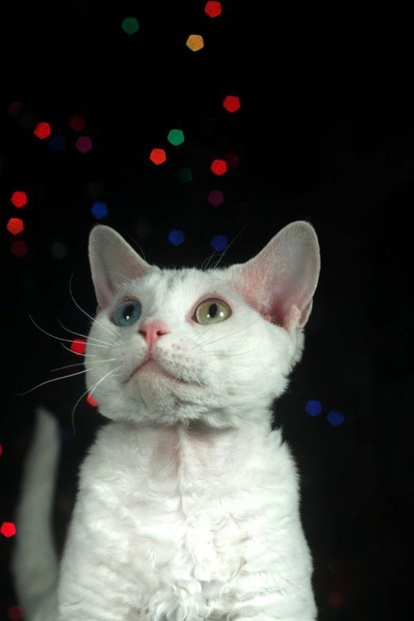 Разноглазые кошки Гетерохромия Глаз у Кошек
