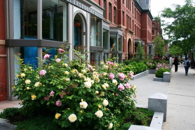 Розы Остина как доминирующий элемент в уличном ландшафте. Они радуют цветением все лето - обильнее всего в июне, и затем цветение волнообразно повторяется до осени