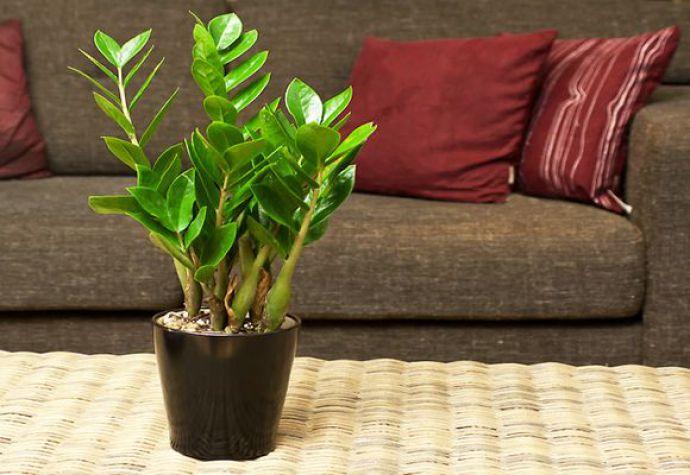 Молодые растения должны пересаживаться ежегодно, а взрослые экземпляры нужно пересаживать по мере необходимости