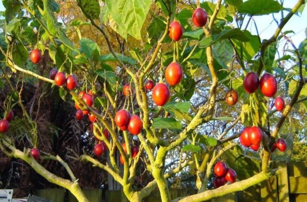 Плоды на дереве тамарилло
