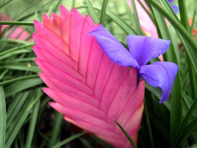 Цветение наступает на 5-7 год жизни растения