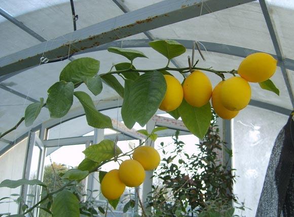 Лимон Мейера является гибридным сортом