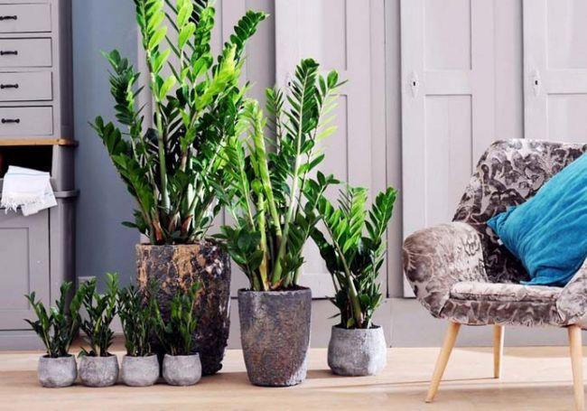 Замиокулькасы являются неприхотливыми растениями и достаточно легко переносят пониженные показатели влажности воздуха