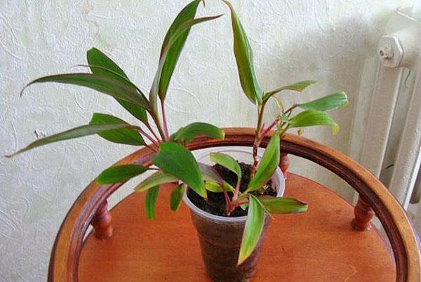 Молодое растение из отводков