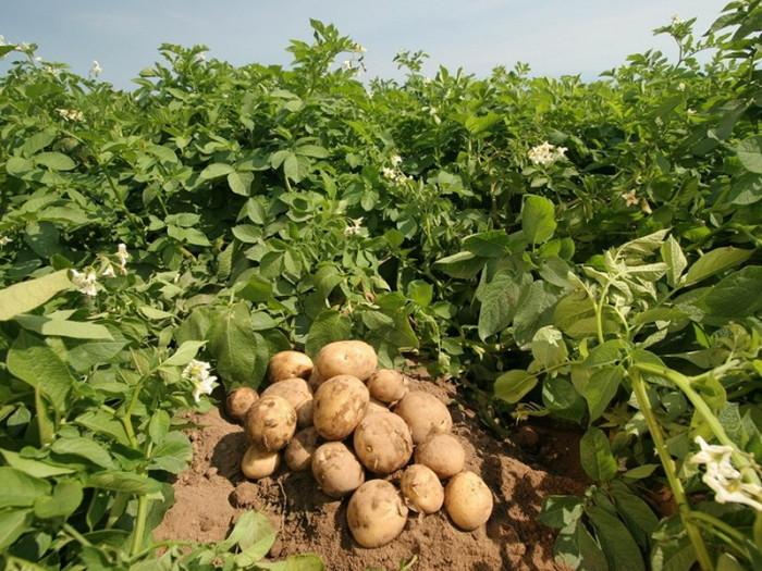 Правильное соседство обеспечит богатый урожай картофеля. /Фото: stopanin.com