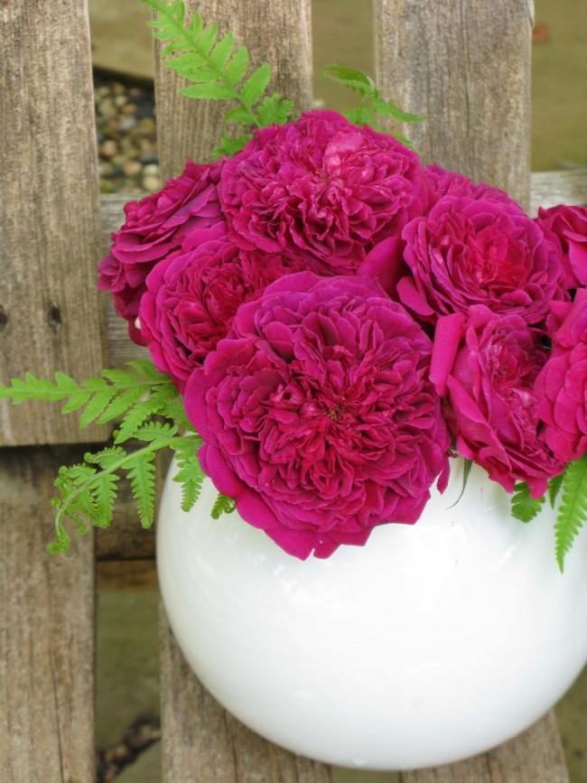 Сорт William Shakespeare 2000 назван в честь Шекспира, по результатам опроса выбранного человеком тысячелетия. Куст прямостоячий, ветвистый, высотой до 120 см, шириной 90 см. Цветы тёмно-красные с фиолетовым оттенком, густомахровые, с сильным ароматом. Цветение - непрерывное. По оценке самого Дэвида Остина, это - самая лучшая красная английская роза на сегодняшний день