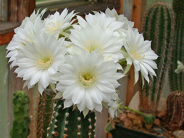пышное цветение кактуса эхинопсис