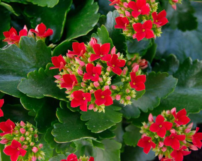цветы каланхоэ уход