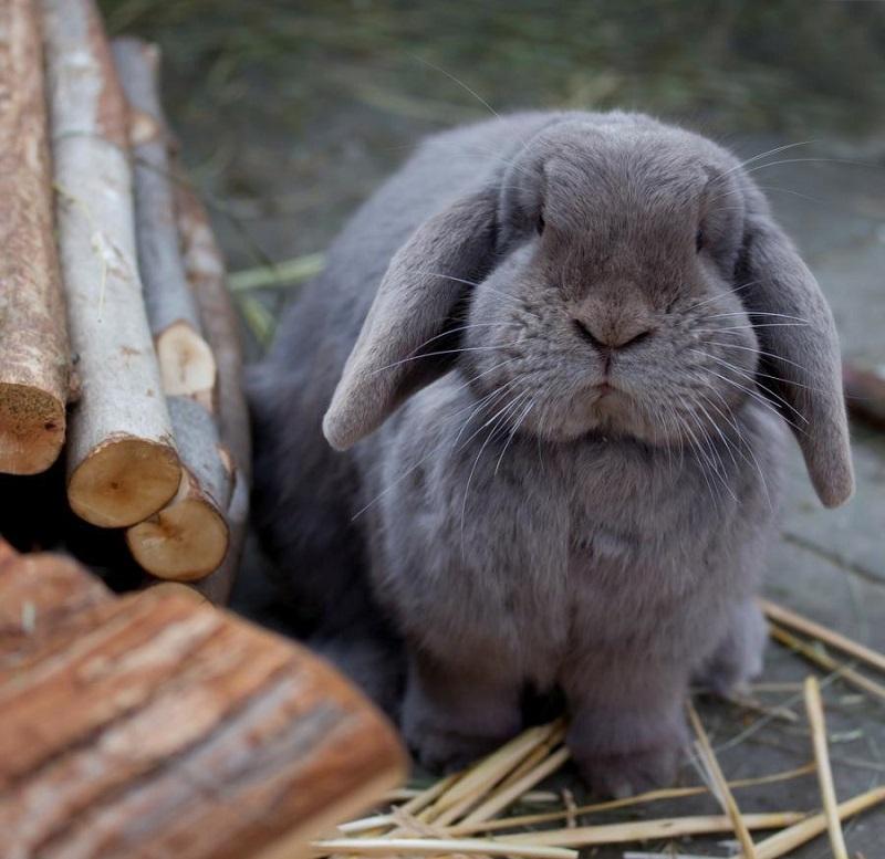 соус картинки кроликов гигантских сочетание нескольких клумб