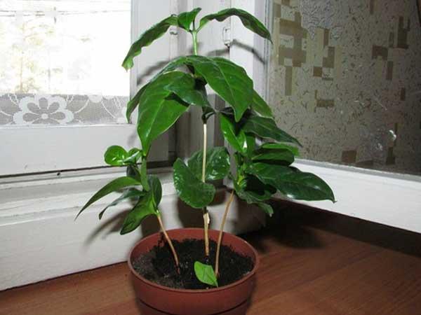 Кофейное дерево из черенка