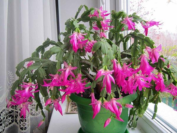 цветет зигокактус на подоконнике