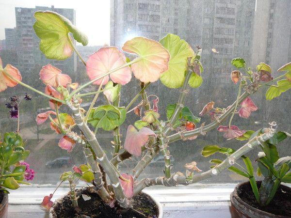 У пеларгонии краснеют листья