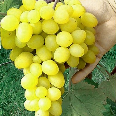 Сорт винограда Макси белый