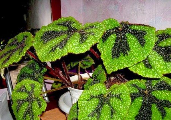 Бегония Мэсона – один из самых красивых сортов