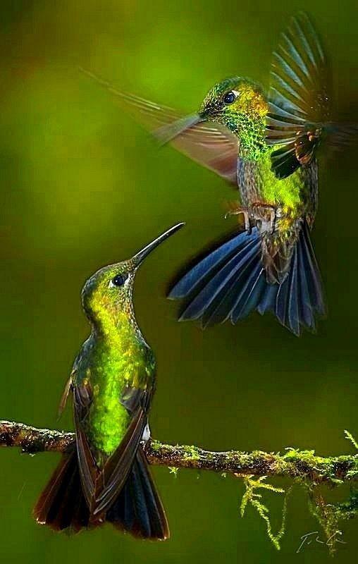 В основном колибри живут в тропических лесах Южной Америки, однако единственный раз колибри обнаружили на территории Российской Федерации. Охристого колибри обнаружили в 1976 году на острове Ратманова (Берингов пролив). интересное, колибри, природа, птицы, факты, фауна