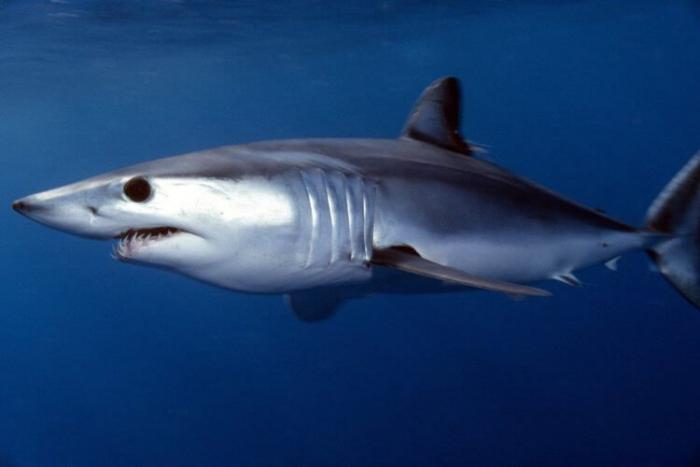 Акула-мако