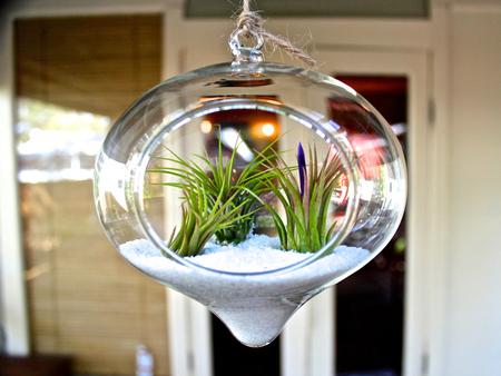 «Воздушные» растения: 14 забавных идей для дома фото 10
