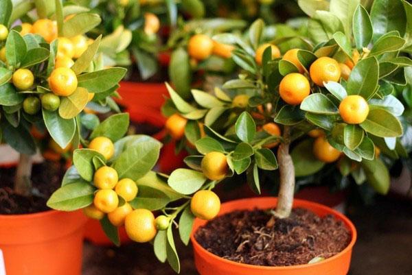 Как правильно выращивать мандарины в домашних условиях?