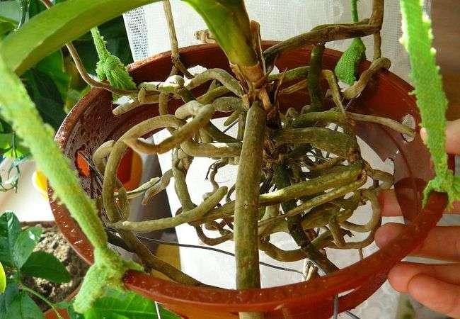 Гниение точки роста у комнатной орхидеи