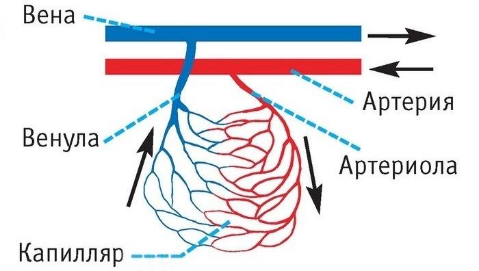 Развенчанный миф: венозная кровь синеватого цвета.