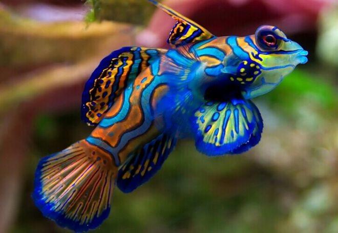 11. Мандариновая рыба животный мир, море, природа, путешествия, рыбки
