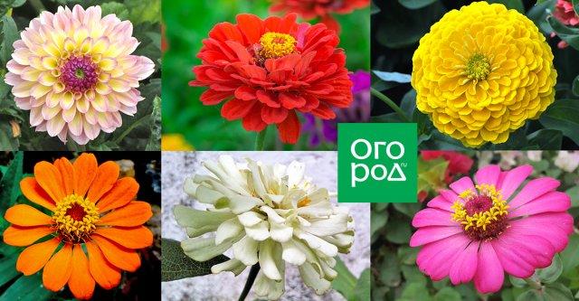 Прекрасная цинния: сорта, выращивание и болезни Сад и огород,Цветник