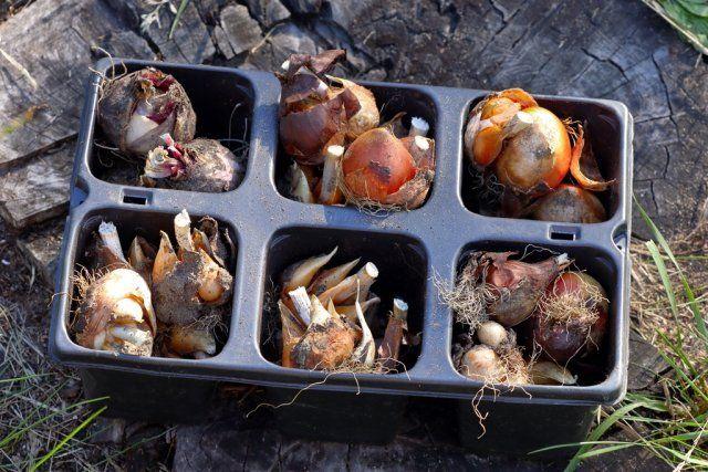 луковицы на посадку