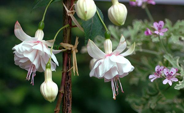 Растение предпочитаем место на западных или восточных окнах