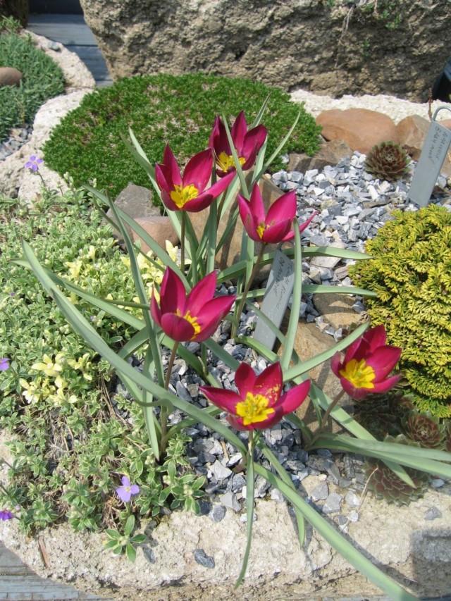 Тюльпан карликовый «Odalisque»