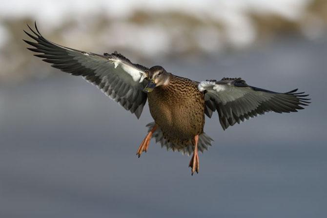 Дикие утки в фотографиях Берт де Тилли
