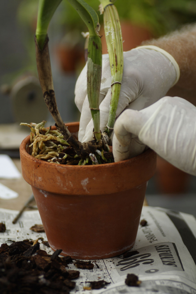 При необходимости, по мере роста растения, орхидею нужно периодически пересаживать в горшочек чуть больше предыдущего. Делать это надо очень аккуратно чтобы не повредить корни