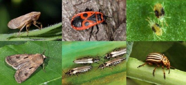 вредные насекомые в огороде