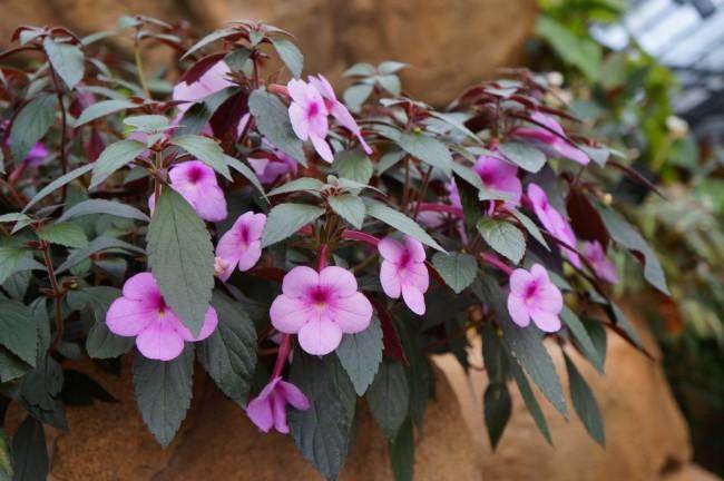 Ахименесы очень популярны среди домашних растений