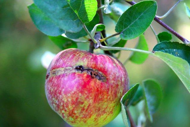 яблонный плодовый пилильщик