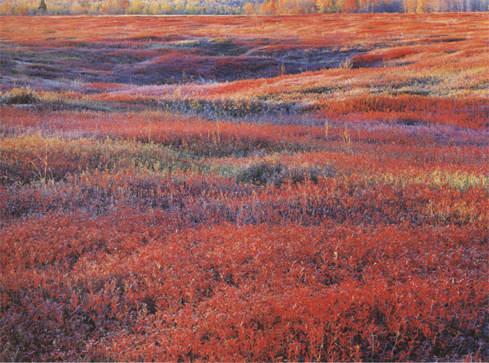 Восход с осенней брусникой. Мэн, США. 1994 год. Автор: Christopher Burkett.
