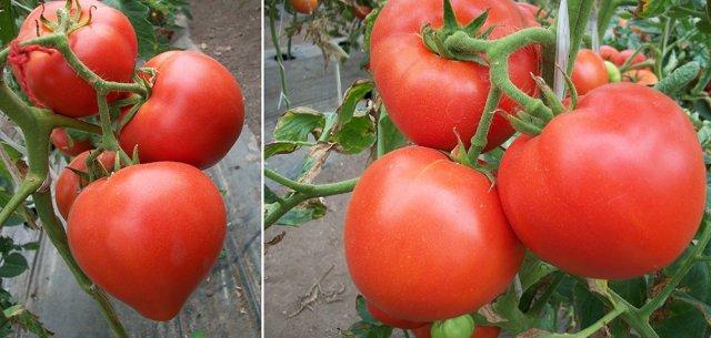 томат большая мамочка от гавриш