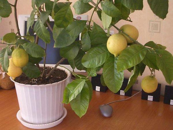 Павловский лимон характеризуется средней степенью урожайности