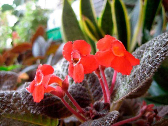 Эписция как красиво цветущее растение входит в ассортимент многих цветочных хозяйств мира
