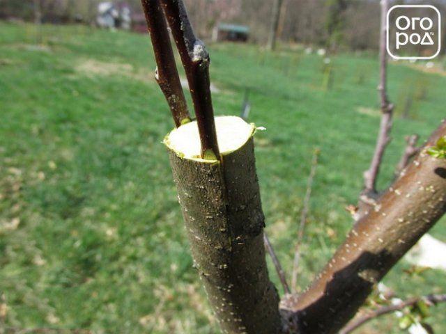 как правильно привить яблоню методом за кору