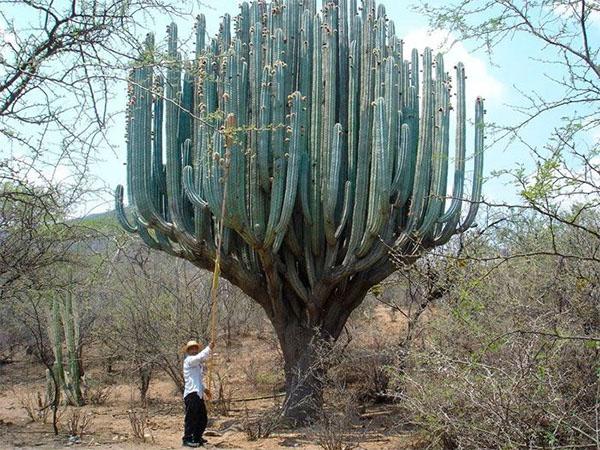 кактус цереус в природе