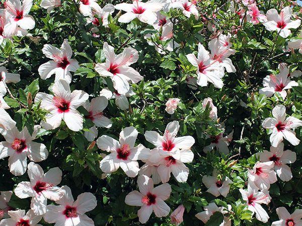 Цветок принадлежит к семейству Мальвовых