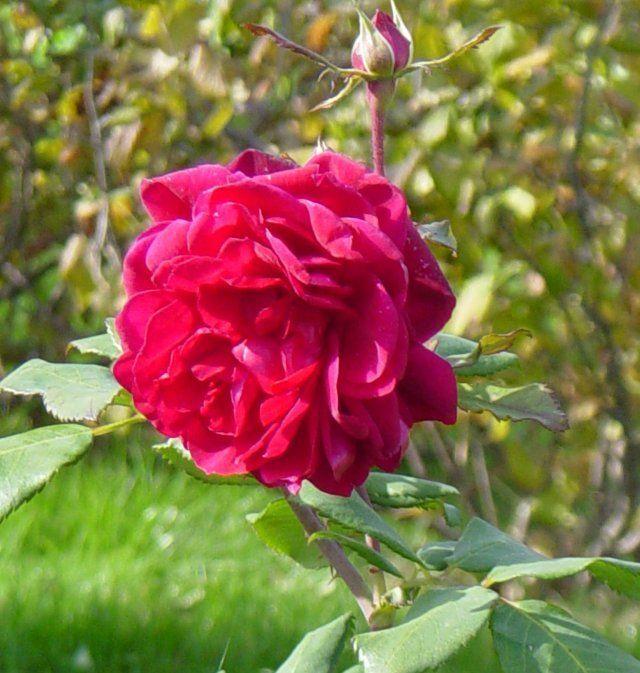 Канадская роза Квадра