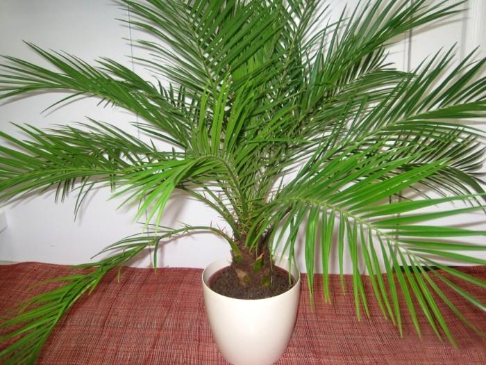 Вот такая красивая пальма может вырасти дома из косточки финика. /Фото: udobreniya.net