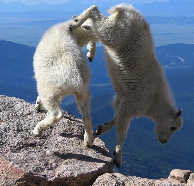 горные козлы бесстрашные животные (21)